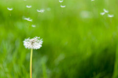 Dandelion seeds in the morning sunlight Royalty Free Stock Image