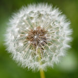 Dandelion seeds in the morning sunlight Stock Photos