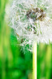 Dandelion seeds in the morning sunlight blowing away against fre Royalty Free Stock Photos