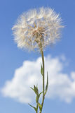 Dandelion with seeds Stock Image