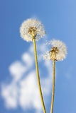 Dandelion with seeds Royalty Free Stock Photography