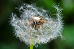 Dandelion seeds over nature background Stock Photo