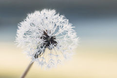 Dandelion seeds with raindrops. Isolated stock photos