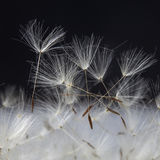 The dandelion with seeds ready for dispersal isolated on black background Stock Photography