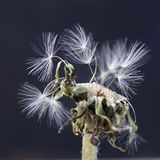 The dandelion with seeds ready for dispersal isolated on black background Royalty Free Stock Image