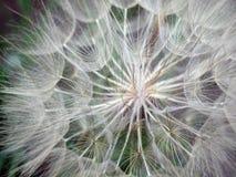 Dandelion. Seeds ready for flight, Omsk region, Russia stock image