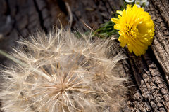 Dandelion seeds on rustic wooden background Stock Photo