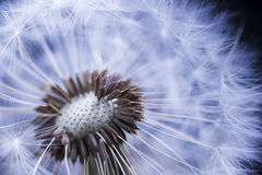 Dandelion with seeds. Dandelion seed head macro close up with some seeds missing Stock Photos