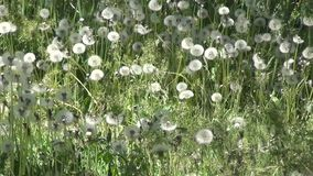 Dandelion Seeds stock video