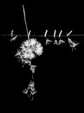 Dandelion seeds with small, wooden laundry nippers and thin metallic wire Stock Image