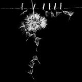 Dandelion seeds with small, wooden laundry nippers Royalty Free Stock Images