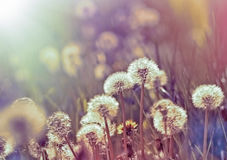 Dandelion seeds in spring Royalty Free Stock Photography