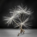 Dandelion seeds standing Royalty Free Stock Images