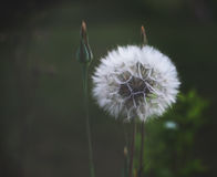 Dandelion seeds in sunlight Royalty Free Stock Photography