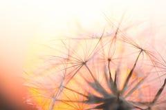 Dandelion seeds on sunset sky background Stock Photos