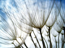 Dandelion seeds (45), with tiny depth of field Royalty Free Stock Photos