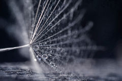 Dandelion seeds with water drops and beautiful shades Royalty Free Stock Image