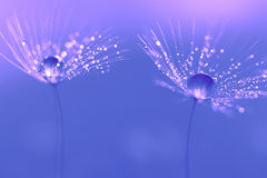 Dandelion seeds with water drops and beautiful shades royalty free stock photo