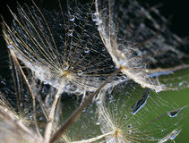 Dandelion seeds with water drops close-up Royalty Free Stock Image