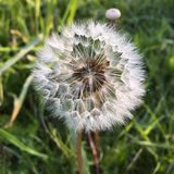 Dandelion seeds Stock Images