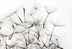 Dandelion seeds white background Royalty Free Stock Photo