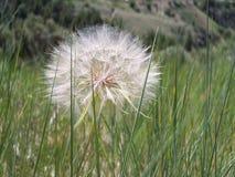 Dandelion seed head royalty free stock photos