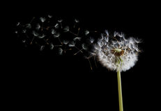 Dandelion seeds in the wind on black background Stock Image