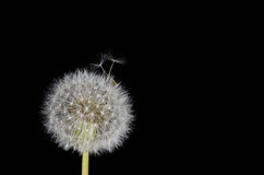 Dandelion Seeds Working Free Stock Photos