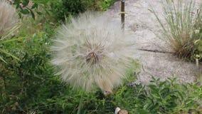 Dandelion senta. Dandelion from bulgaria in jambol stock video footage