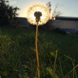 Dandelion in the setting sun Royalty Free Stock Photo