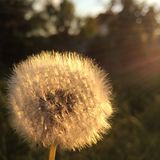 Dandelion in the setting sun Stock Image