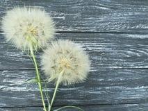 Dandelion sezonu delikatnej antykwarskiej sceny lata stara miękkość na drewnianym tle błachym Zdjęcia Royalty Free