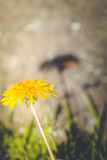 Dandelion with shadow Stock Images
