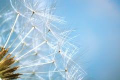 Dandelion - shallow dof Stock Images