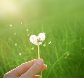 Dandelion in shape of a heart. On a green background Royalty Free Stock Photo
