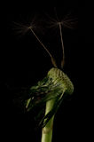 Dandelion Shoots. On black background royalty free stock photo
