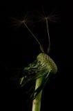 Dandelion Shoots Royalty Free Stock Photo