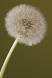 Dandelion Shoots. Dandelion flower on green background royalty free stock photos