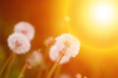 Dandelion Sia Blowball Obrazy Royalty Free