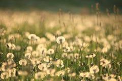Dandelion Sia Blowball Zdjęcia Royalty Free