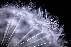 Dandelion sia makro- Zdjęcie Royalty Free