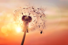 Dandelion silhouette against sunset Stock Photography
