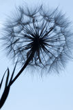 Dandelion silhouette fluffy flower on blue sunset sky. Dandelion silhouette fluffy flower on a blue sunset sky Royalty Free Stock Image