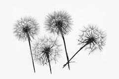 Dandelion 4. Silhouette of four flowers dandelions Royalty Free Stock Photos