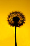 Dandelion silhouette. Silhouette of dandelion head against yellow skies at sunset royalty free stock photos