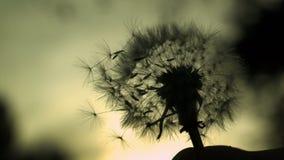 Dandelion Silhouette. High speed fine detail shot of dandelion silhouette stock video footage
