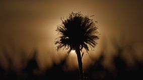 Dandelion silhouette on sunset background. Dandelion silhouette on sunset background stock video footage