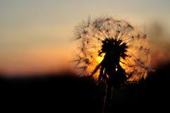 Dandelion silhouette at sunset stock image