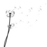 Dandelion silhouette on white background Stock Photo