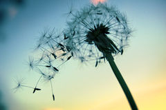 Dandelion. Silhouetted Dandelion seeds blowing in the wind Stock Photo
